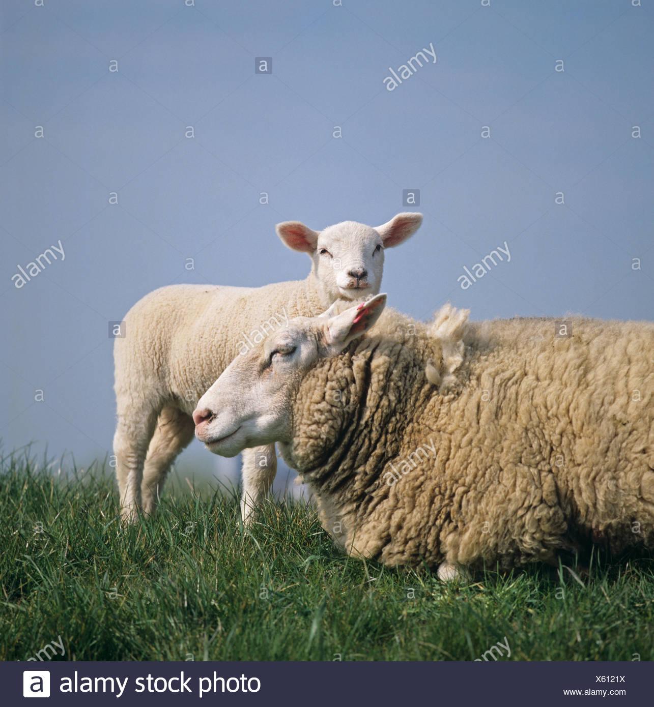 Brebis Texel X et l'agneau (face caméra) sur canal bank aux Pays-Bas Banque D'Images