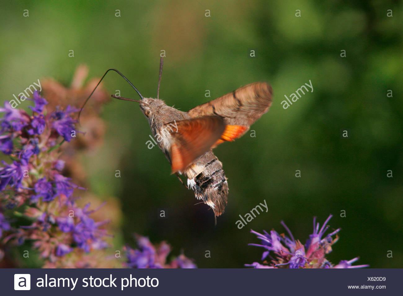 Humming-bird Hawk-moth Photo Stock