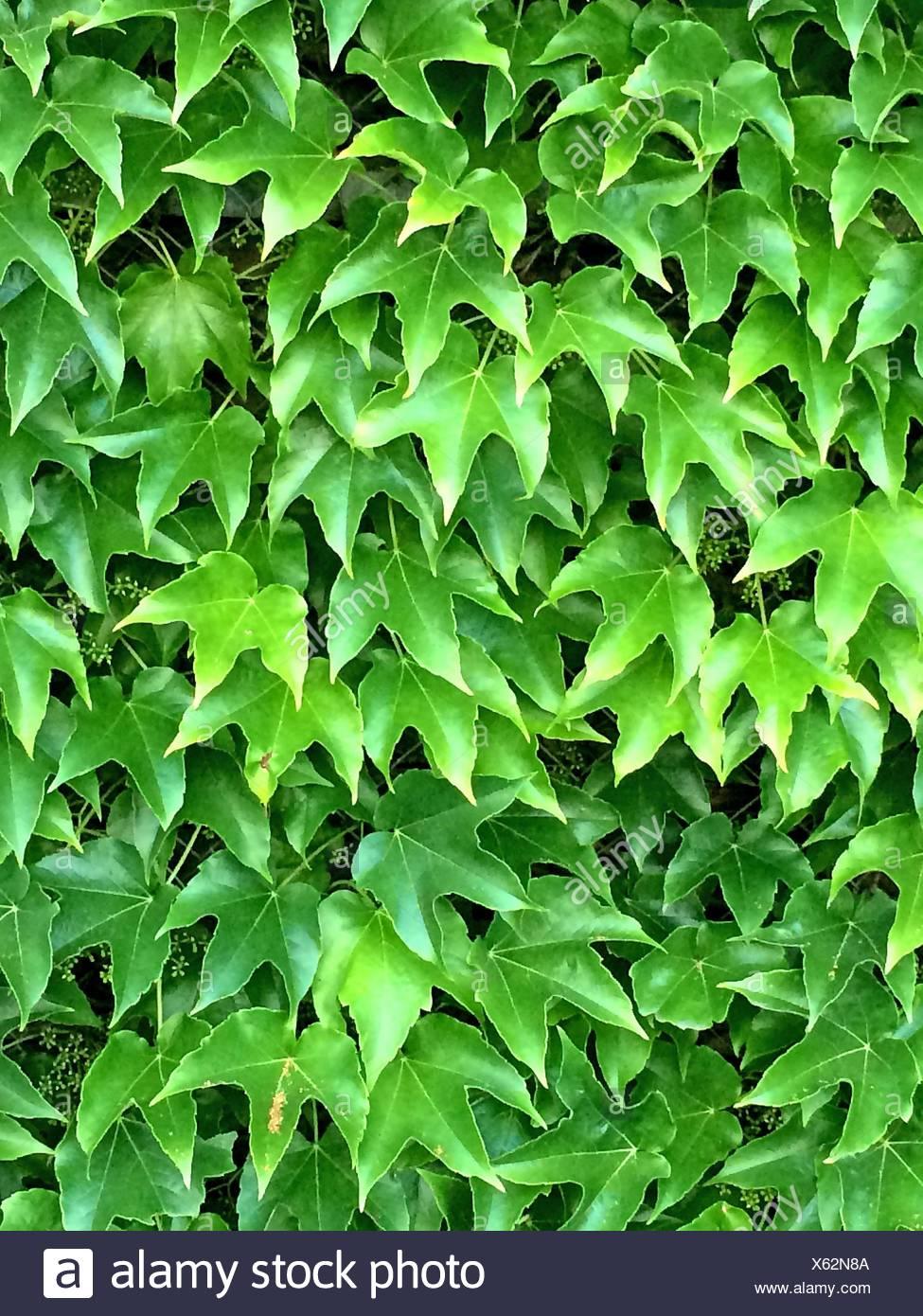 Les feuilles de vigne sauvage en été. Banque D'Images