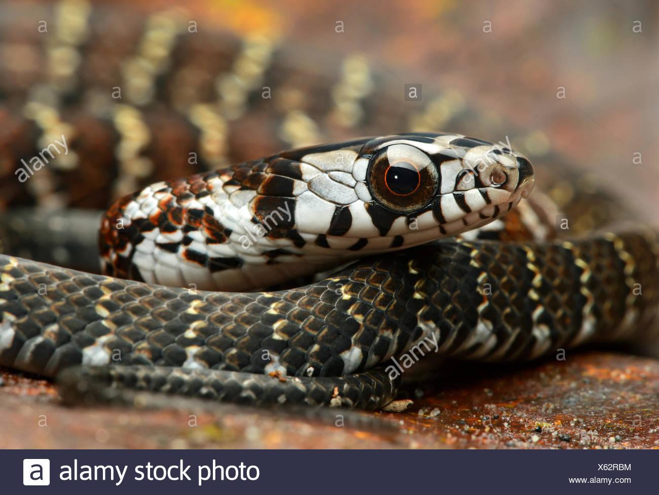 Forêt fauve Racer (Dendrophidion dendrophis), snake (Colubridae), Amazon rainforest, Parc national Yasuni, en Equateur Photo Stock