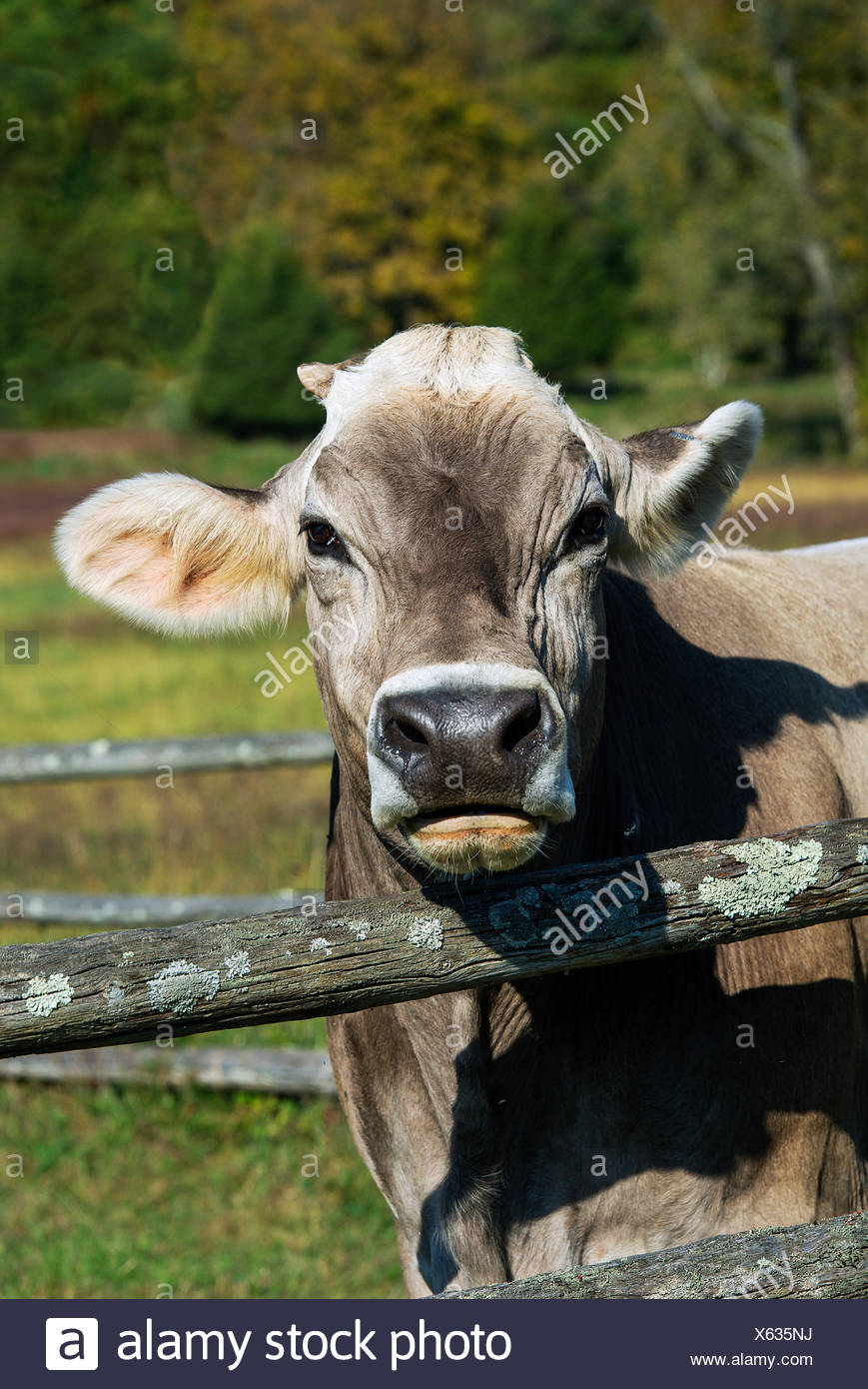 Vache brune Suisse Photo Stock