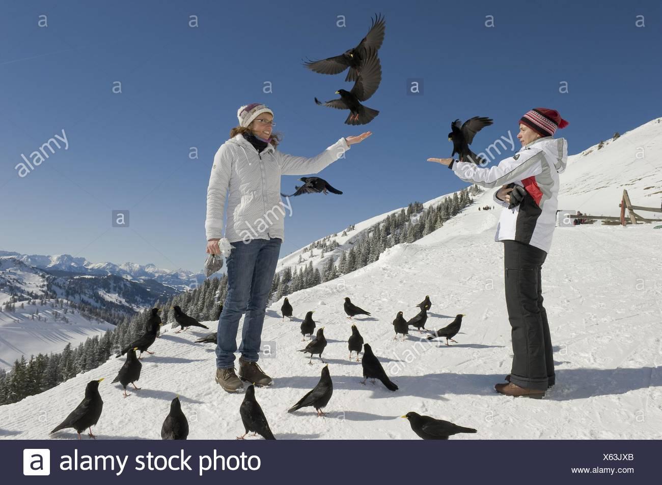 Les humains et alpine yellow-choughs Photo Stock