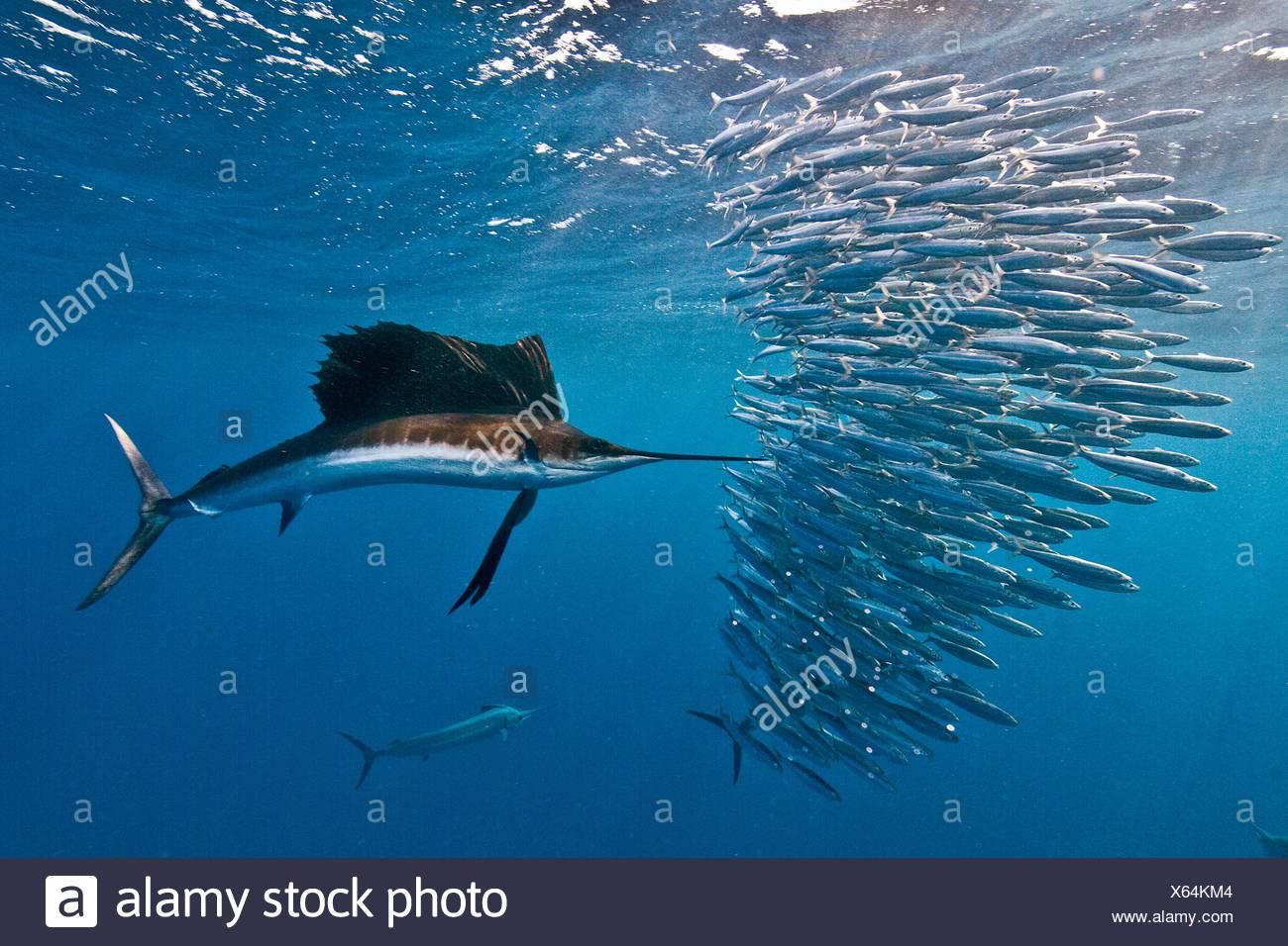 Voilier (Istiophorus albicans) attaque une baitball de sardines dans l'espoir de trouver avec son projet de loi dentelée Isla Mujeres Photo Stock