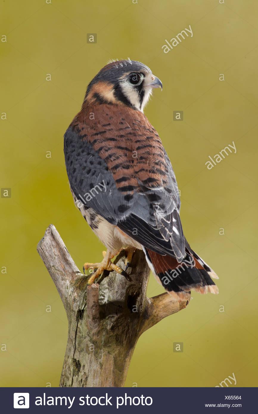 Crécerelle d'Amérique, membre de l'arbre sur le Centre de la Pennsylvanie, aux États-Unis. Situation contrôlée (Falco sparverius) Photo Stock