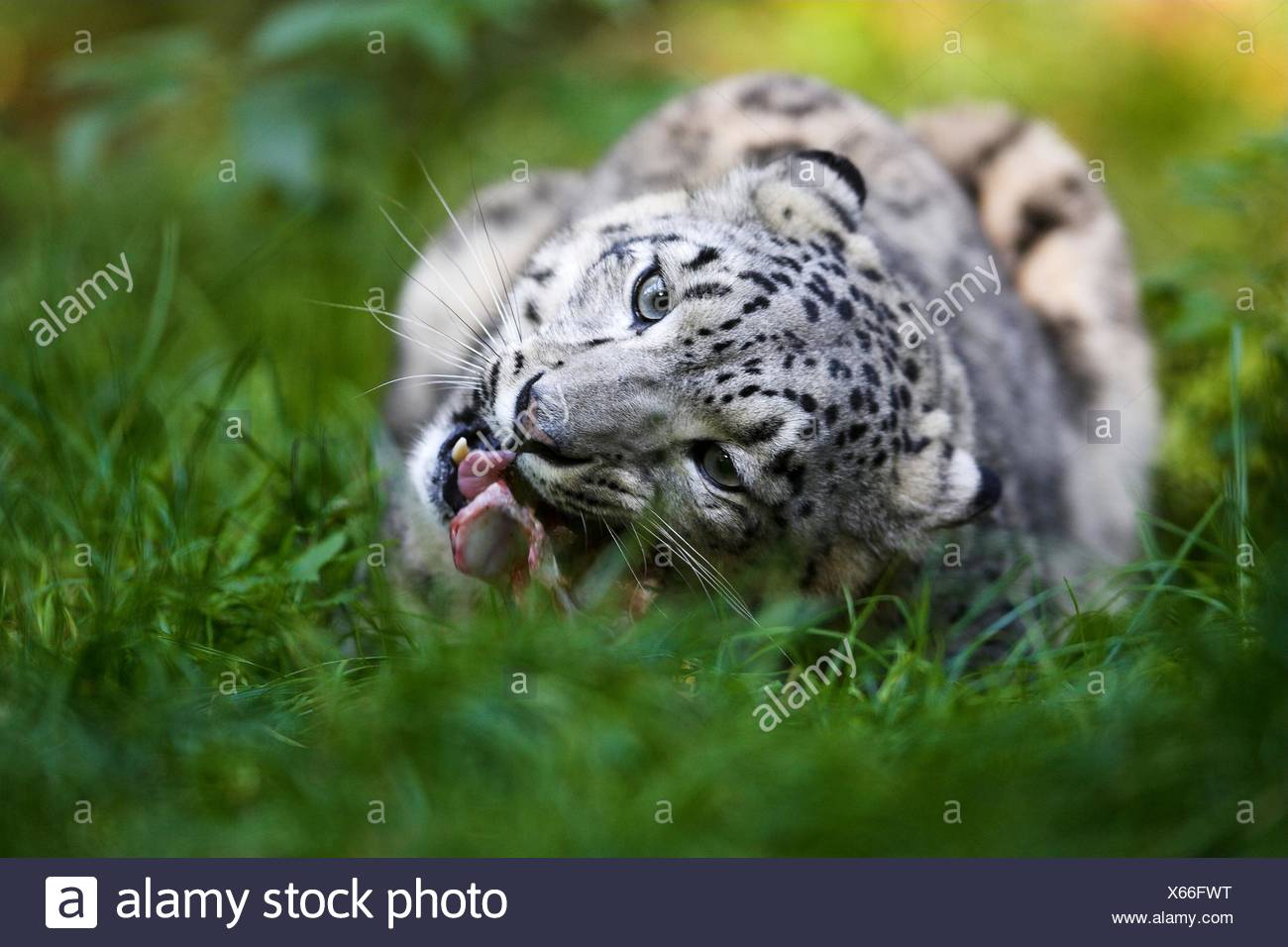 Eating snow leopard Photo Stock