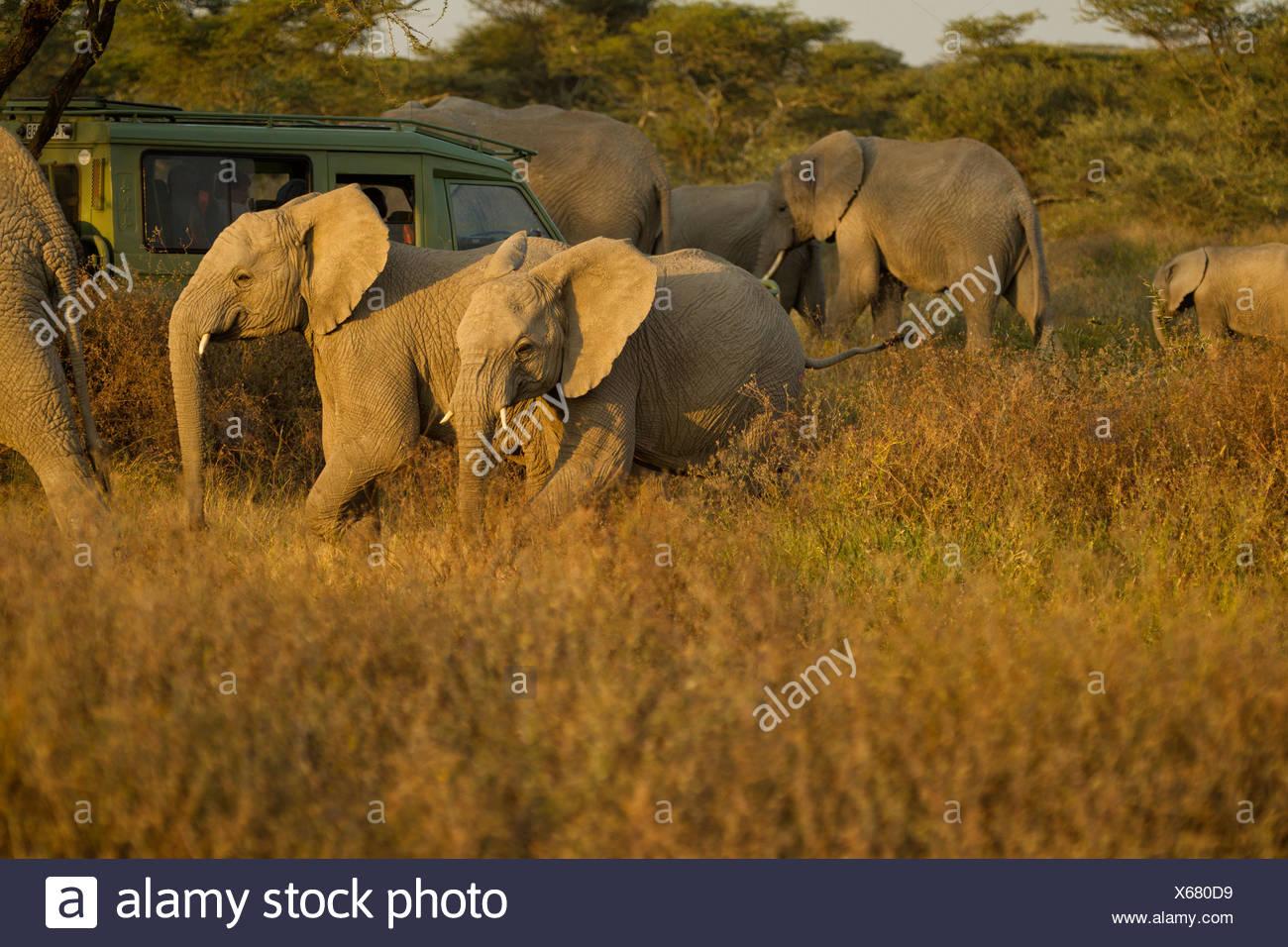 Les éléphants véhicule safari surround Photo Stock
