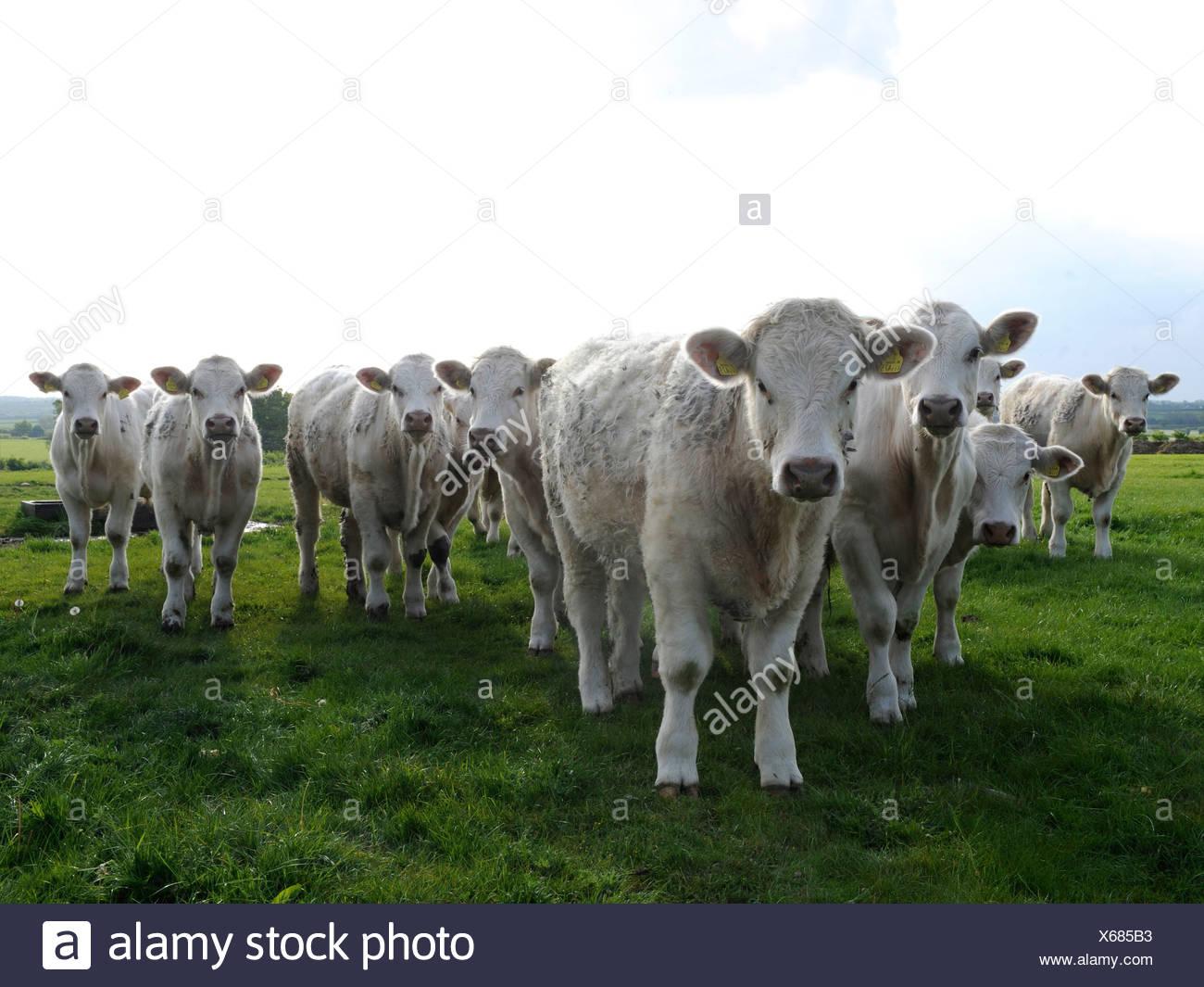 Une ligne de vaches blanches, les vaches sont en colère. Photo Stock
