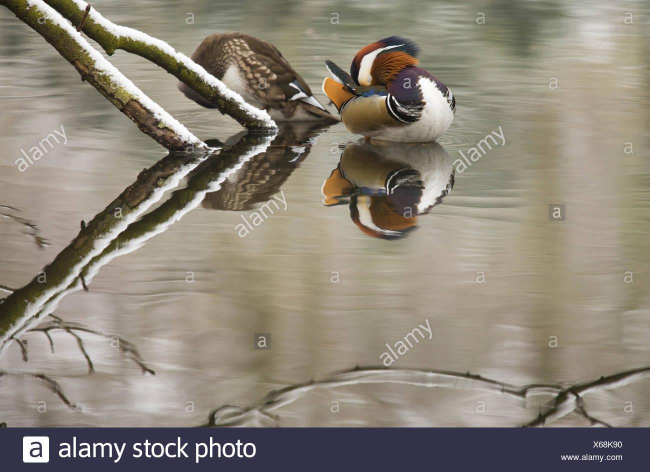 Aix galericulata, Mandarin Photo Stock