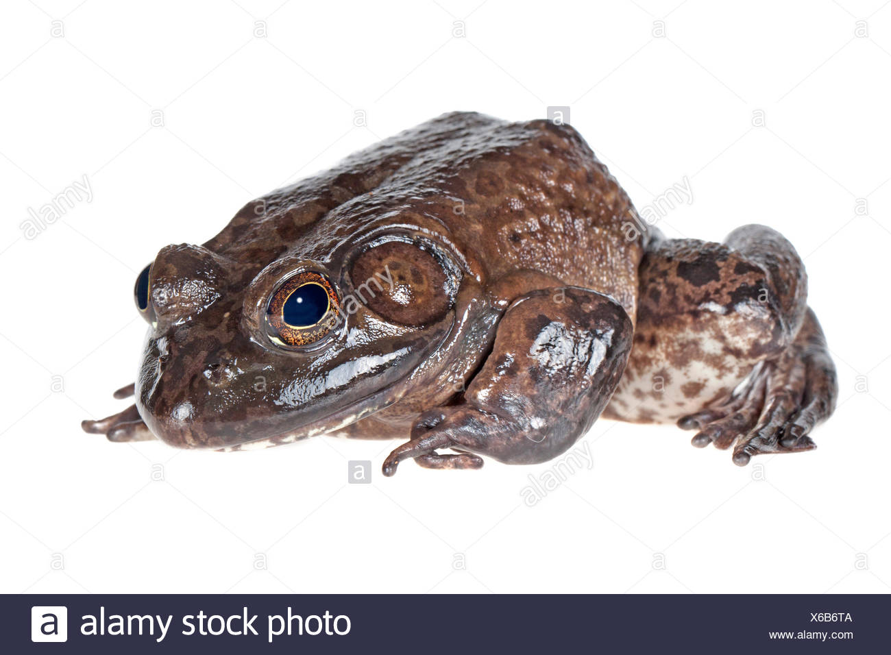 American Bullfrog photographié sur un fond blanc. Banque D'Images