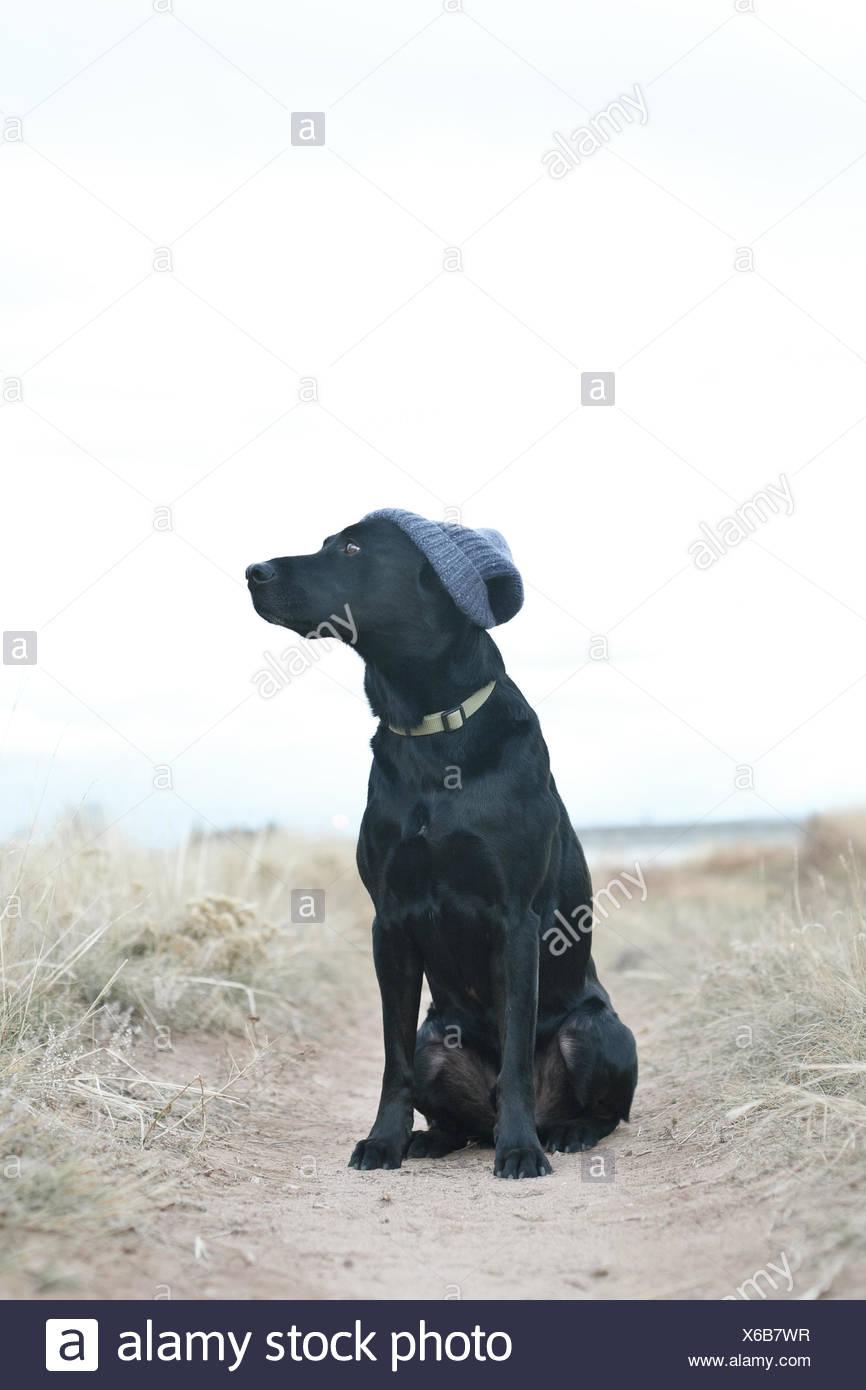 Black dog wearing knit cap assis sur sentier Photo Stock