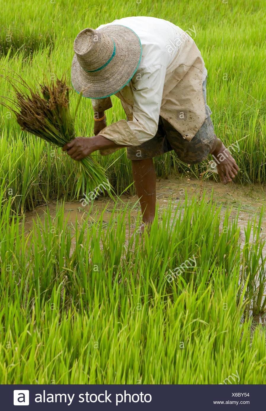 Asie Thaïlande rizière Banque D'Images
