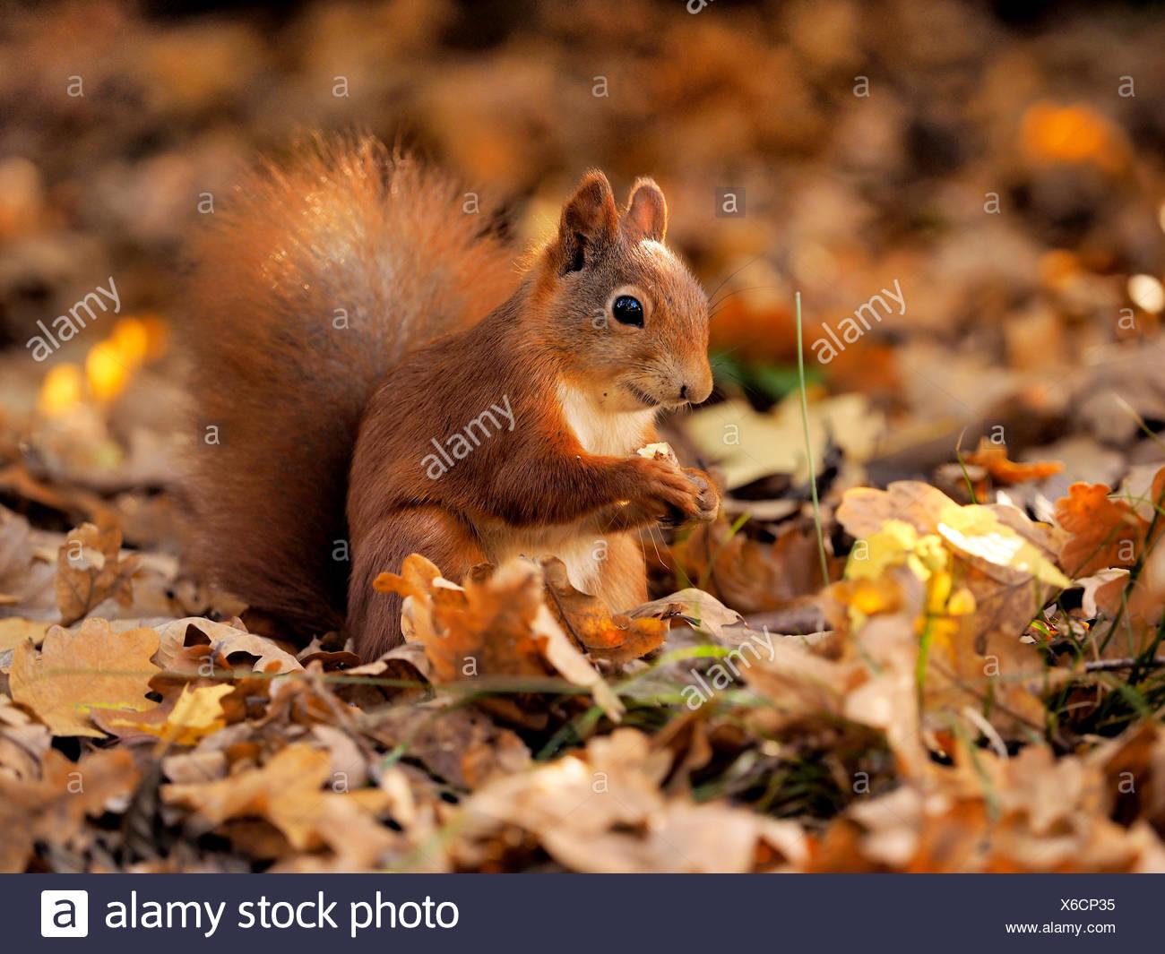 L'écureuil roux européen eurasien, l'écureuil roux (Sciurus vulgaris), assis sur le feuillage de l'automne et l'alimentation, de l'Allemagne, la Saxe Photo Stock