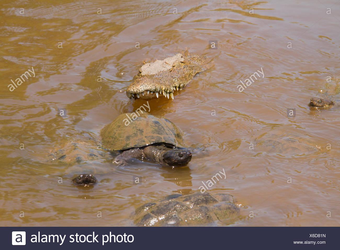 L'Afrique de l'Est de la boue dentelée de la tortue et le crocodile du Nil- trou d'eau saisonniers Kruger Banque D'Images