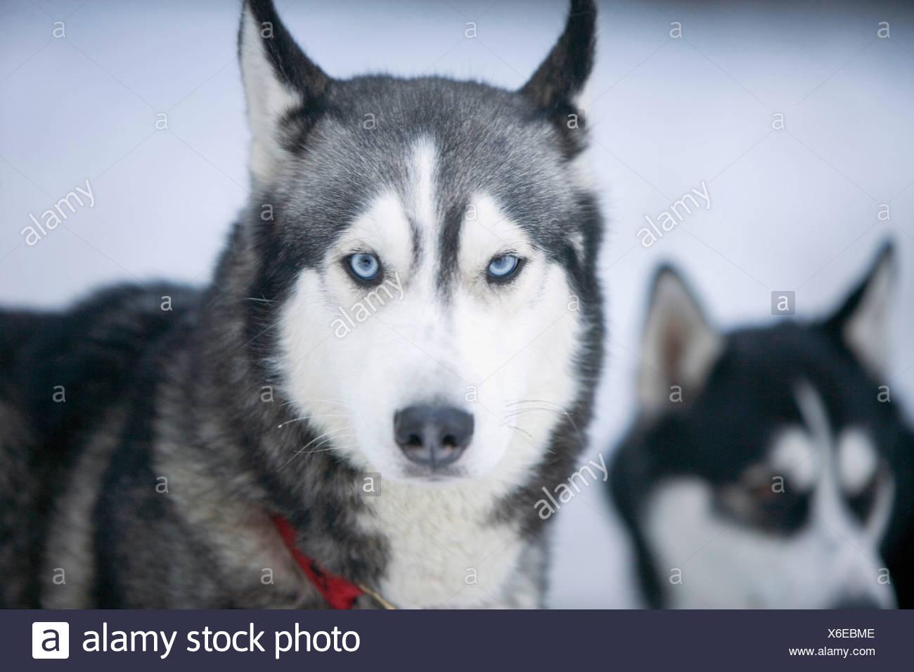 Deux huskies de Sibérie dans la neige Banque D'Images