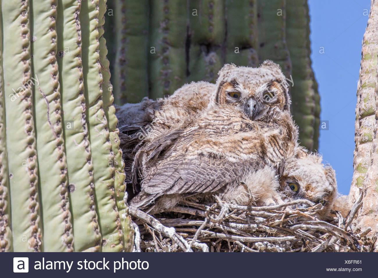 Grand-duc d'Amérique (Bubo virginianus), les jeunes oiseaux dans le nid dans un saguro, USA, Arizona, Phoenix, Sonorawueste Photo Stock