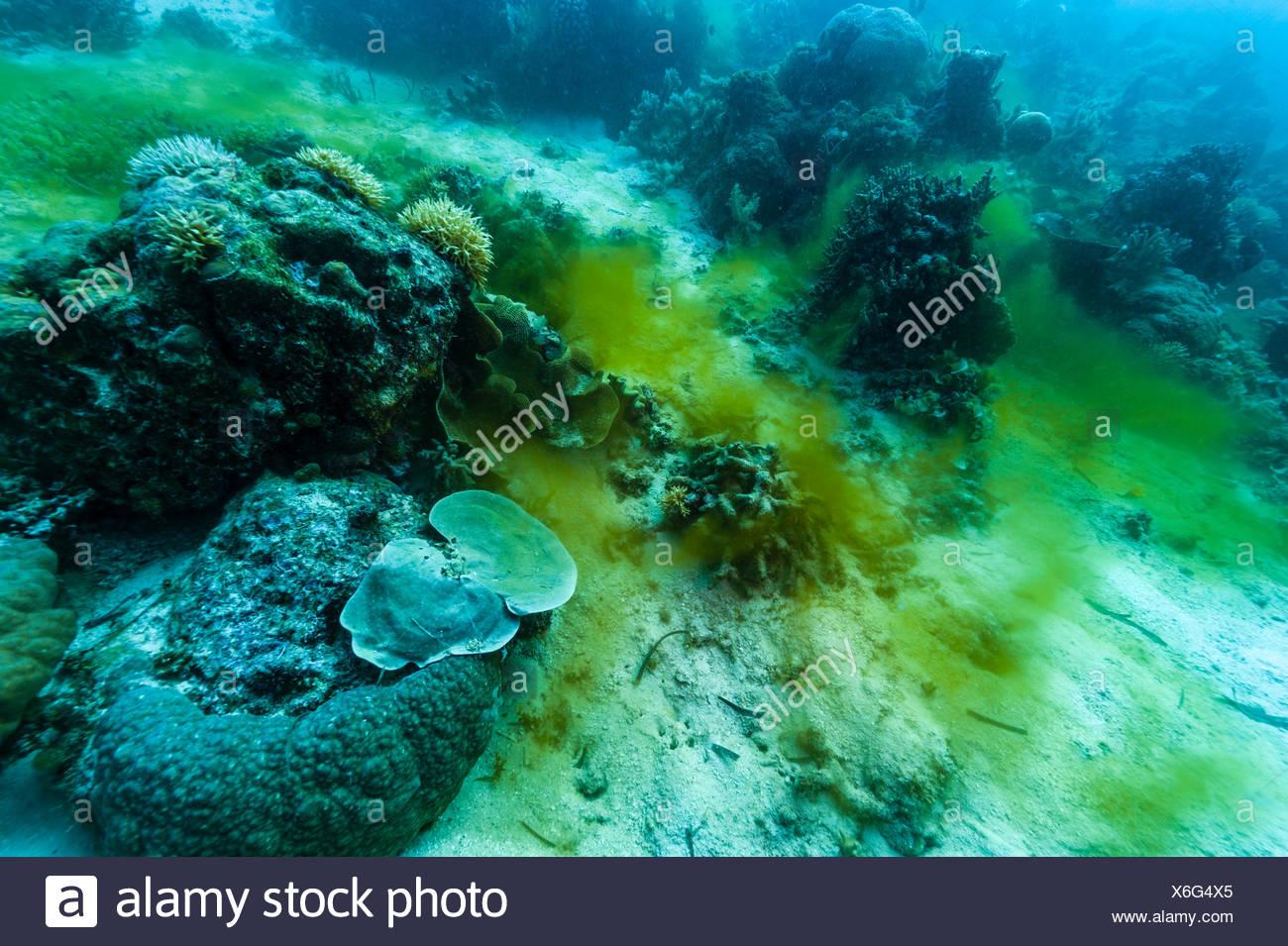 Une floraison d'algues phytoplanctoniques descendre la pente d'un récif tropical. Banque D'Images