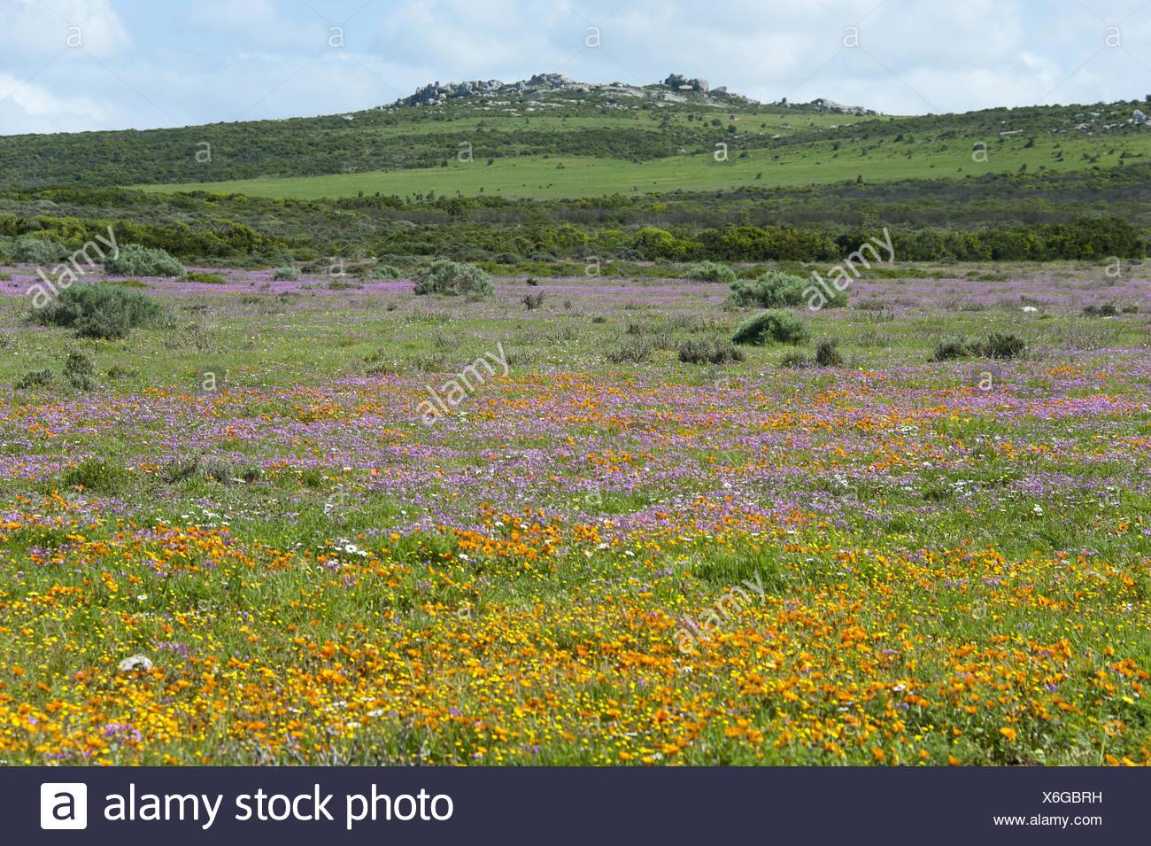 Flower meadow avec rock formation à l'horizon sur la côte atlantique dans la côte ouest Nationalpark, Afrique du Sud, Western Cape, West Coast National Park Photo Stock