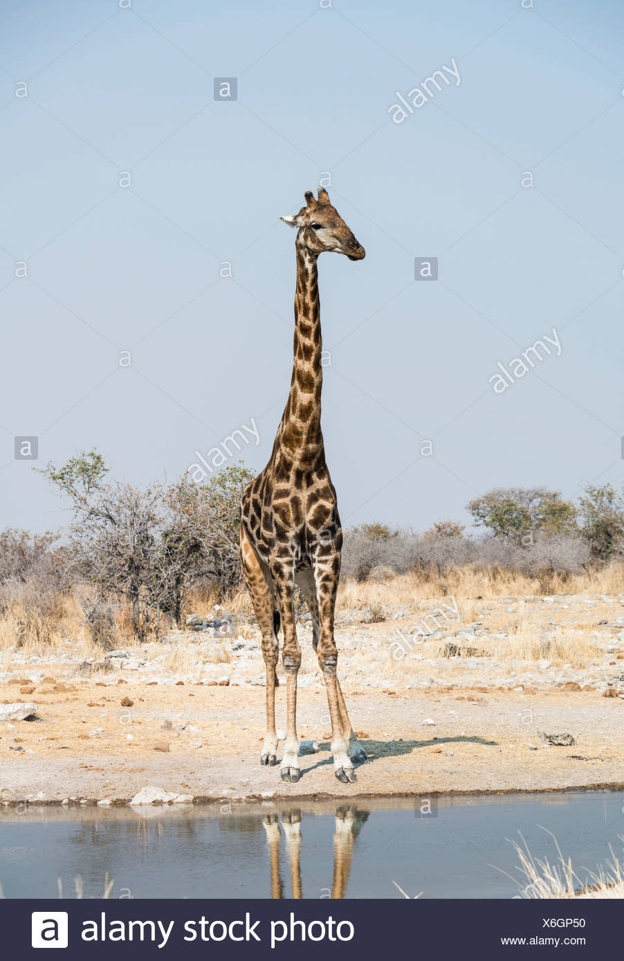 Girafe (Giraffa camelopardalis) à l'Kalkheuwel waterhole, Etosha National Park, Namibie Photo Stock