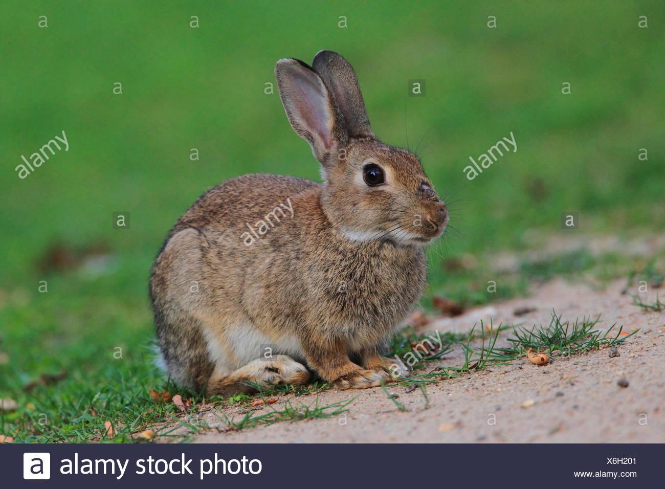 Lapin de garenne (Oryctolagus cuniculus), lapin sauvage assis dans un pré, Allemagne Banque D'Images