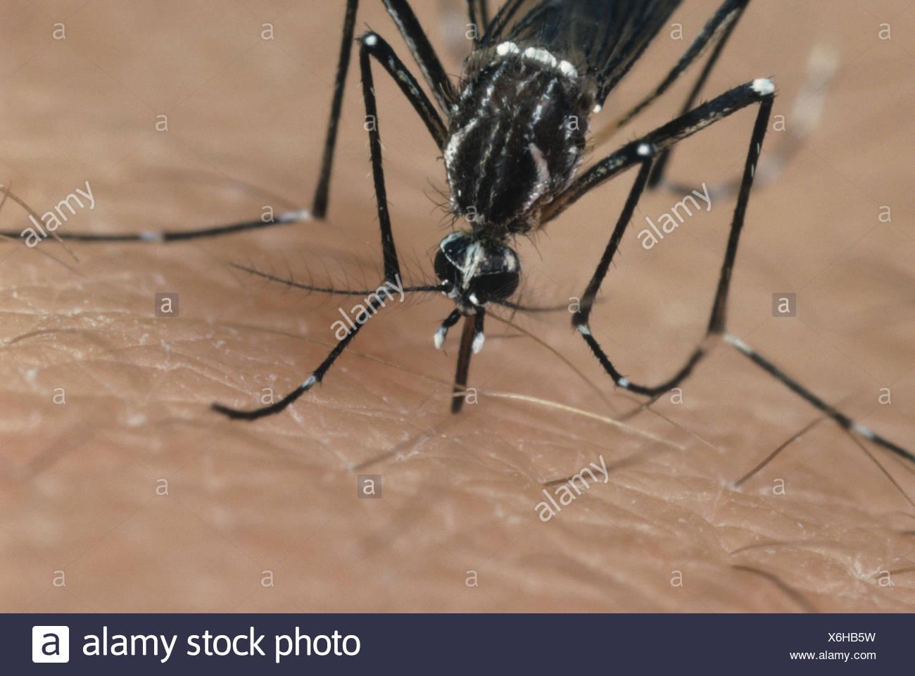 Moustique Aedes aegypti égyptien une yekllow insecte vecteur de la fièvre Photo Stock
