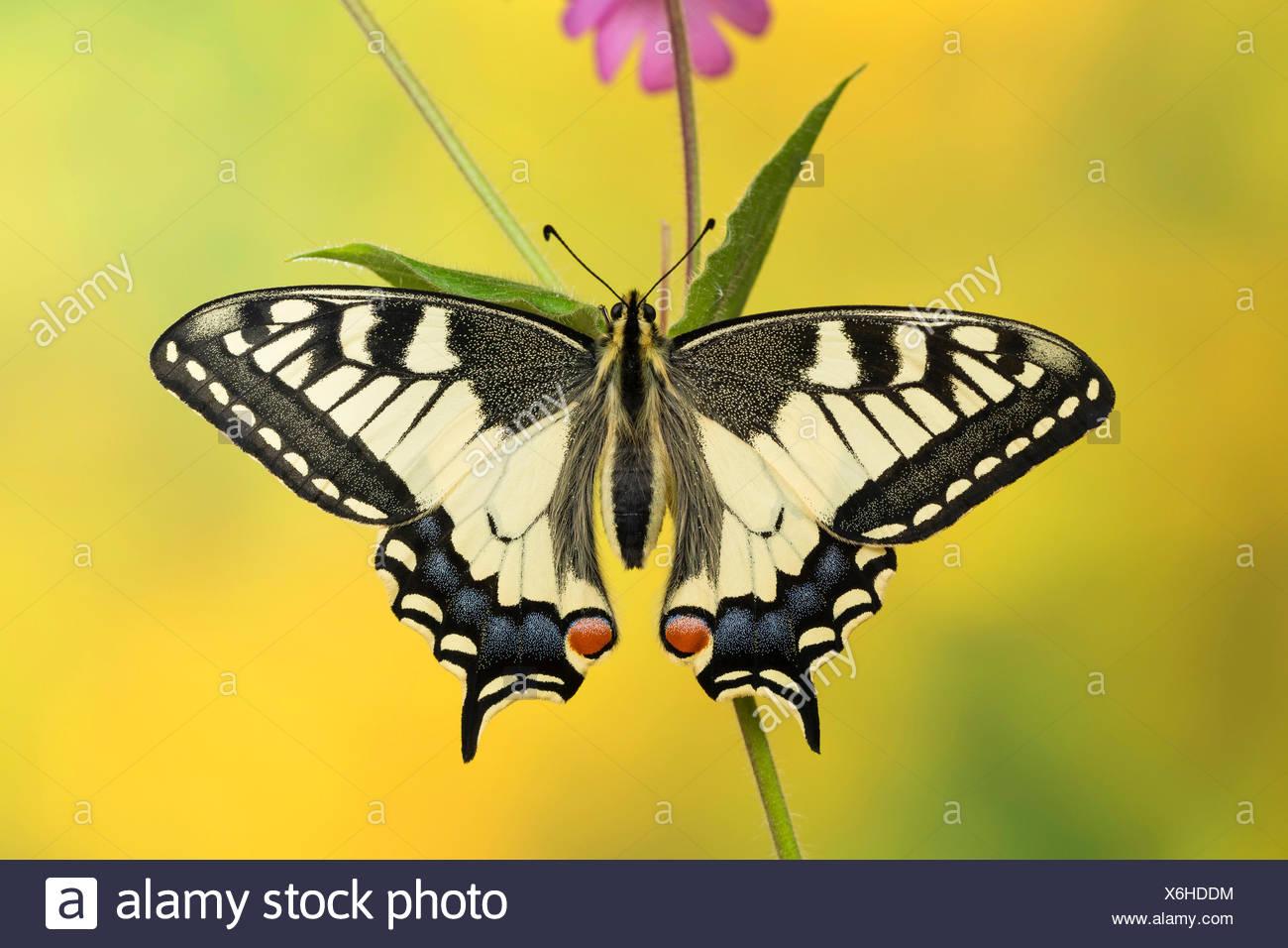 Papilio machaon), est assis sur une tige, Allemagne Photo Stock