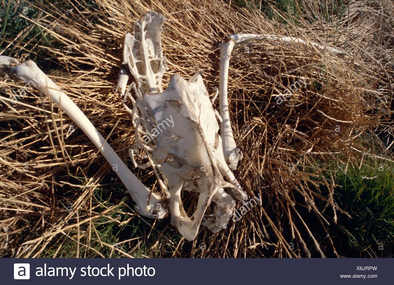 Le squelette presque intact d'un pélican blanc dans des roseaux. Photo Stock