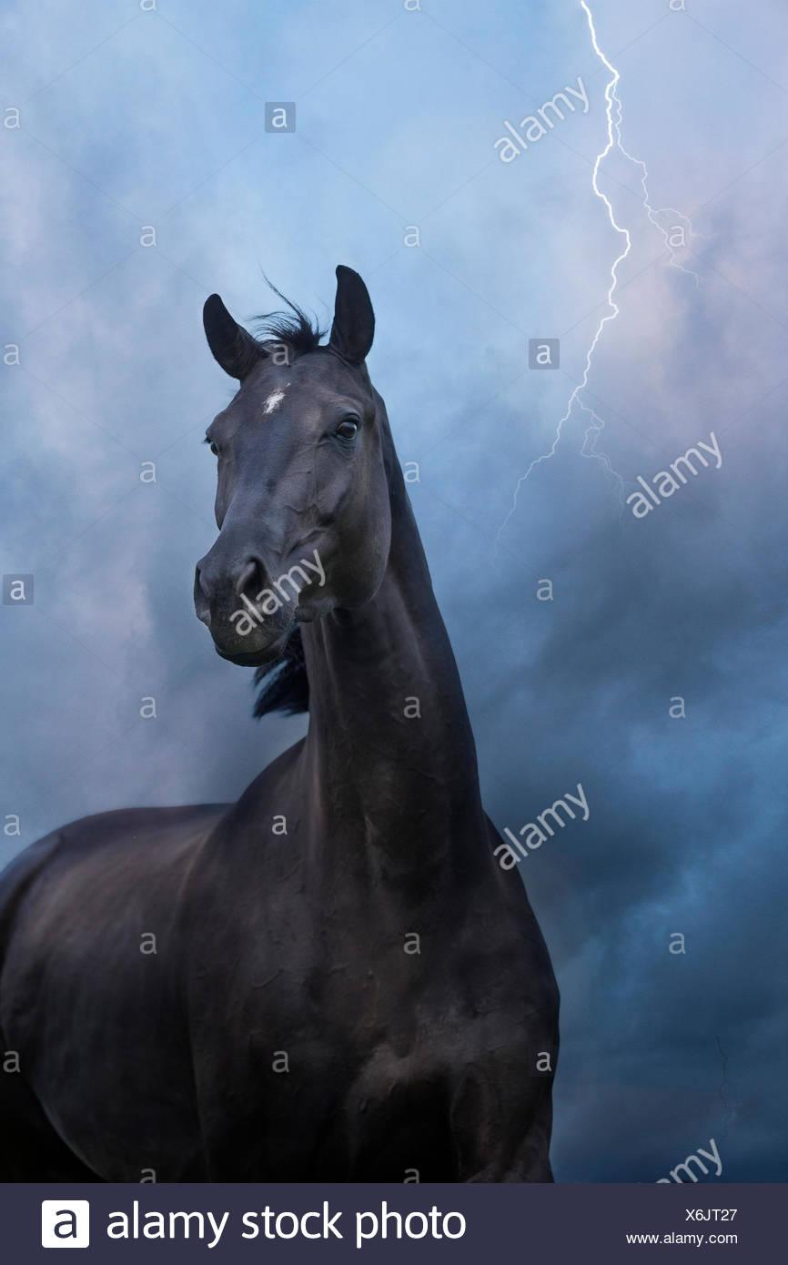 Oldenburg Horse. Mare Noir debout sur un pâturage de nuit, avec la foudre frappant. La Suisse Banque D'Images