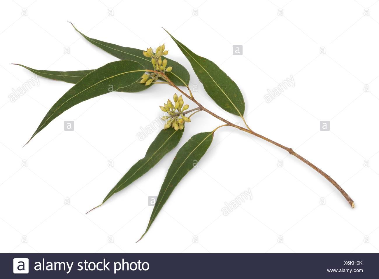 branche d'eucalyptus et de feuilles sur fond blanc banque d'images