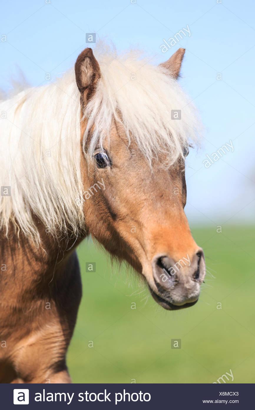 L'allemand classique poney Portrait ypung étalon alezan Photo Stock
