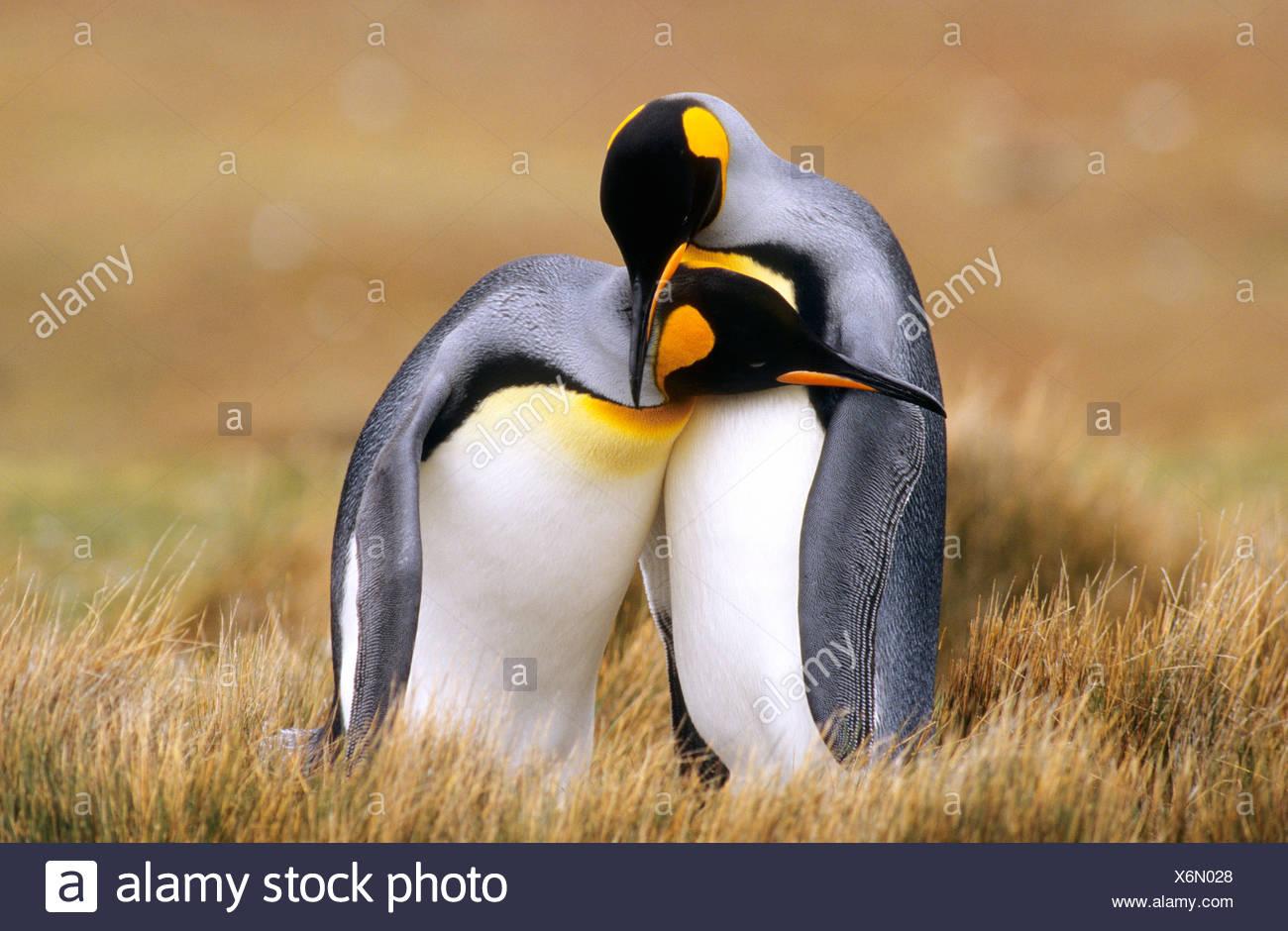 Les manchots royaux (Aptenodytes patagonicus) Point de bénévolat, Îles Falkland, le sud de l'Océan Atlantique Photo Stock