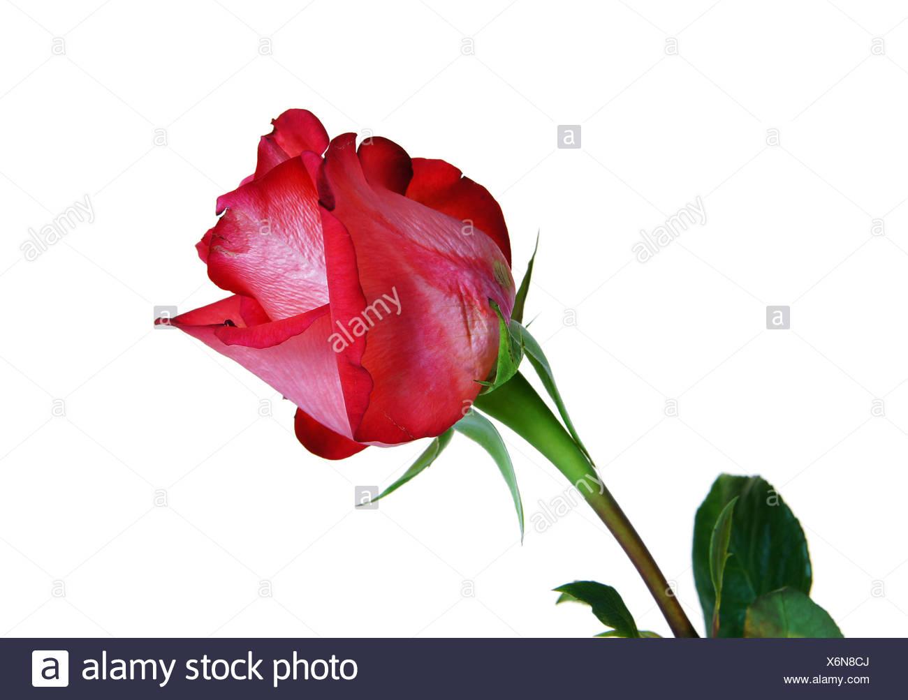 La rose rouge est isolé sur fond blanc Photo Stock