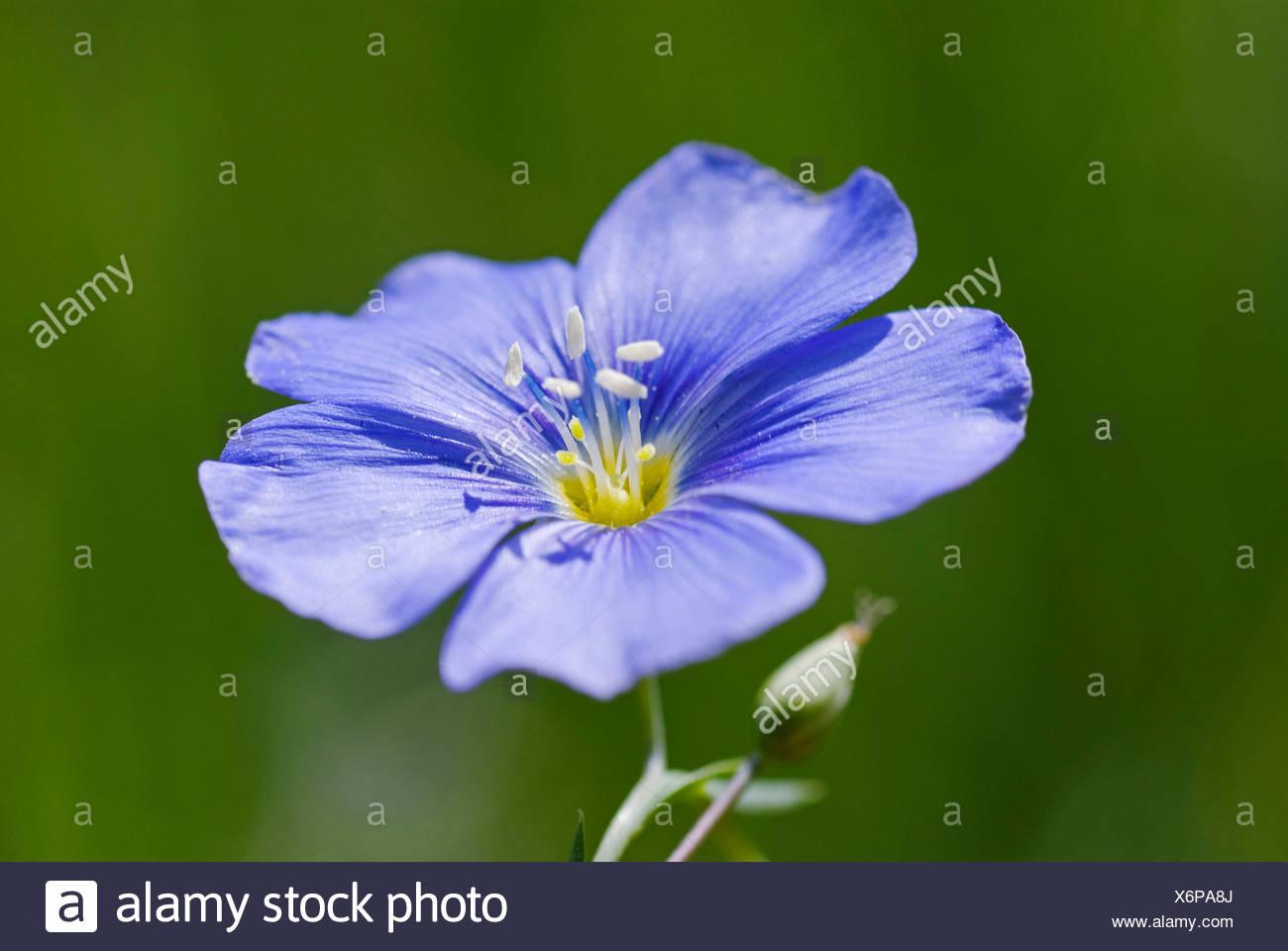 Lin vivace bleu, lin (Linum perenne), fleur, Allemagne ...