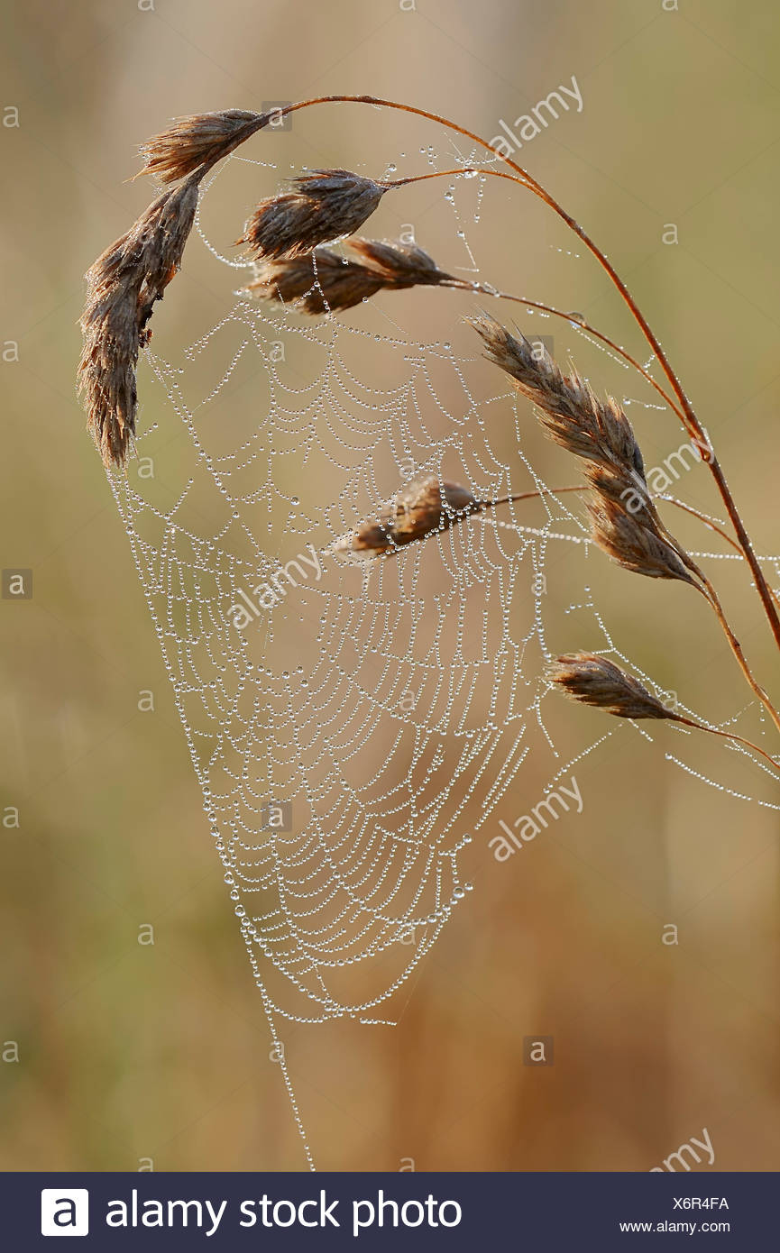 Spider web avec des gouttes de rosée, en Rhénanie du Nord-Westphalie, Allemagne Photo Stock