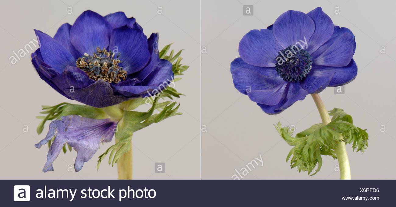 Remplacement de pétale sépale dans le calice d'une anémone coronaria fleur par rapport à la normale Photo Stock