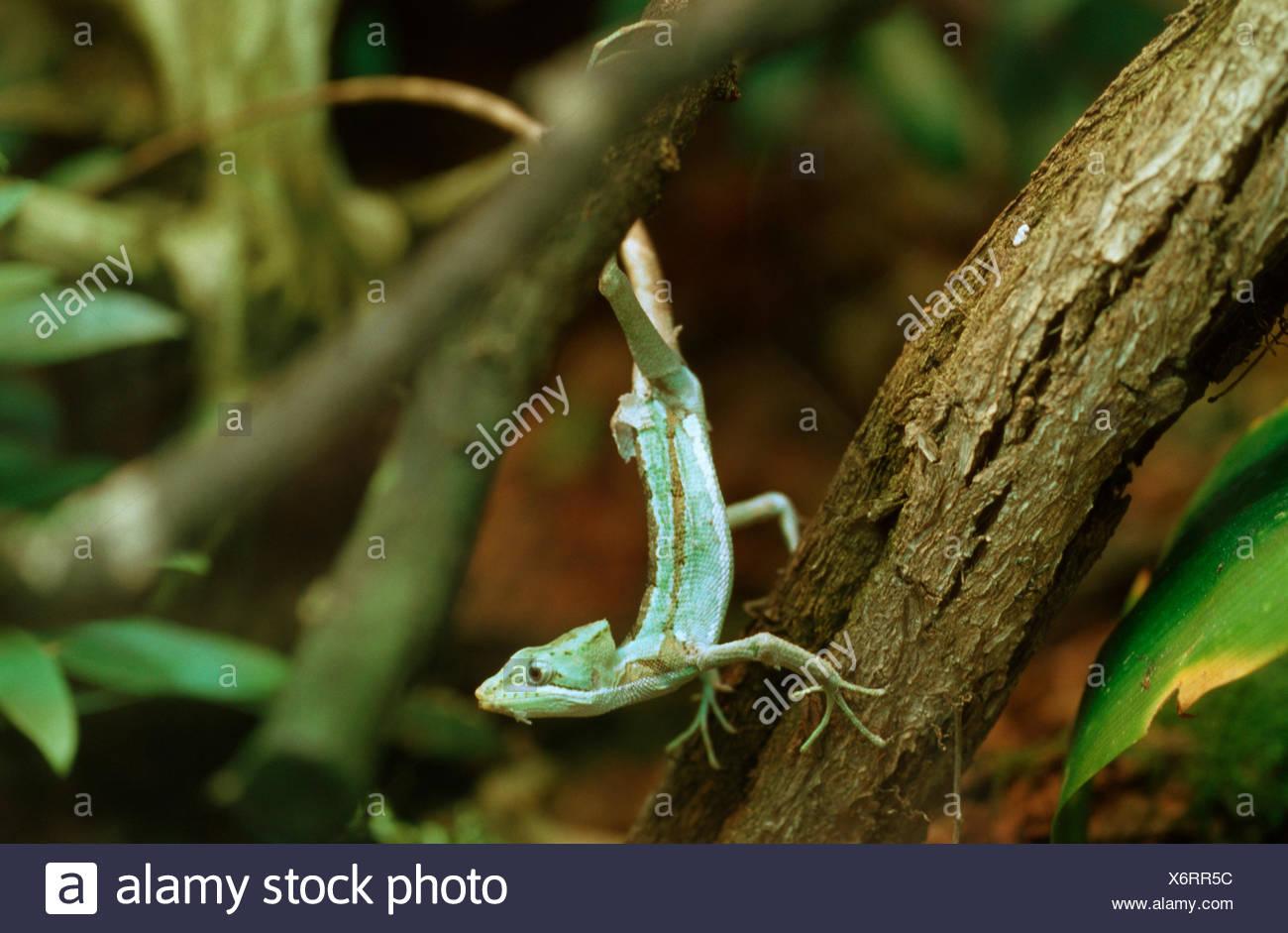 Casquehead dentelée iguana (Laemanctus serratus), à une tige Photo Stock