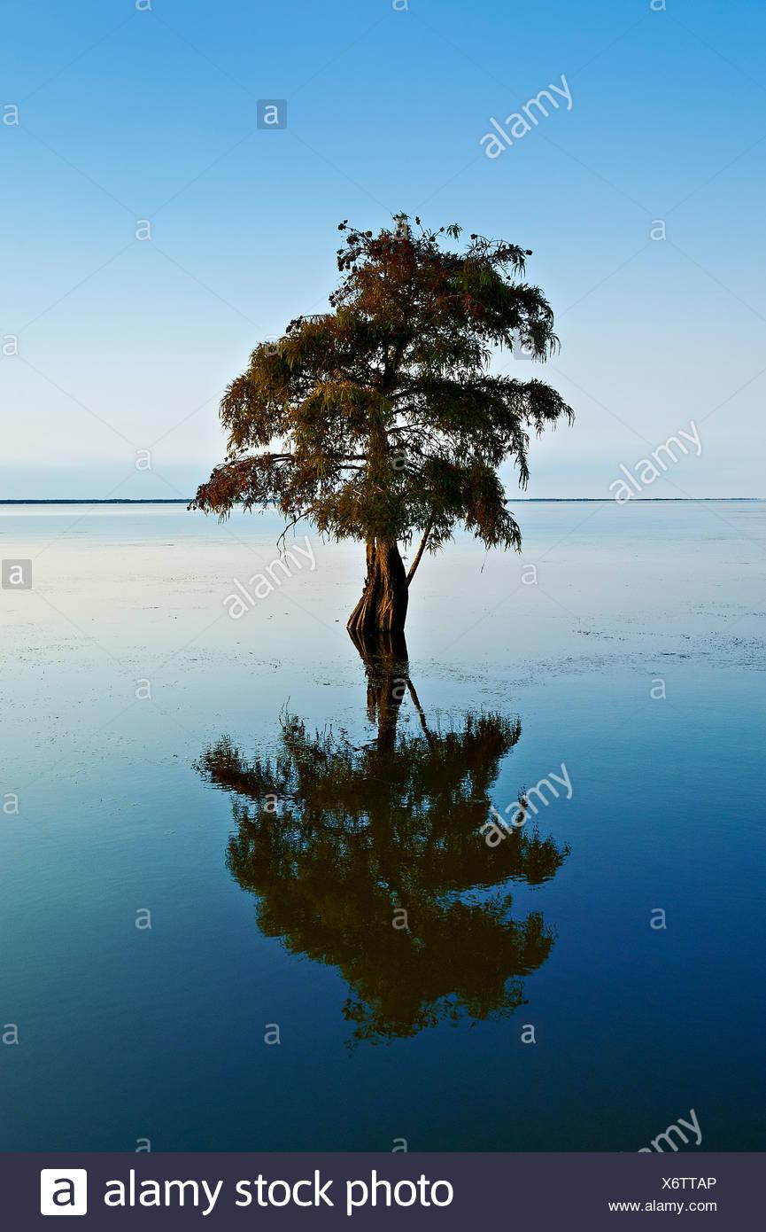 Lone cypress tree dans l'eau saumâtre, Taxodium distichum Photo Stock
