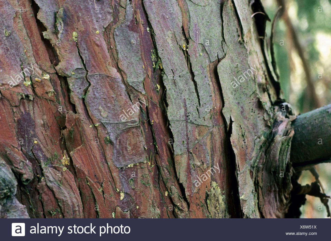 Des pleurs jaune (Cupressus nootkatensis 'Pendula', Cupressus nootkatensis Pendula, Chamaecyparis nootkatensis 'Pendula', Chamaecyparis nootkatensis pendula), l'écorce Photo Stock