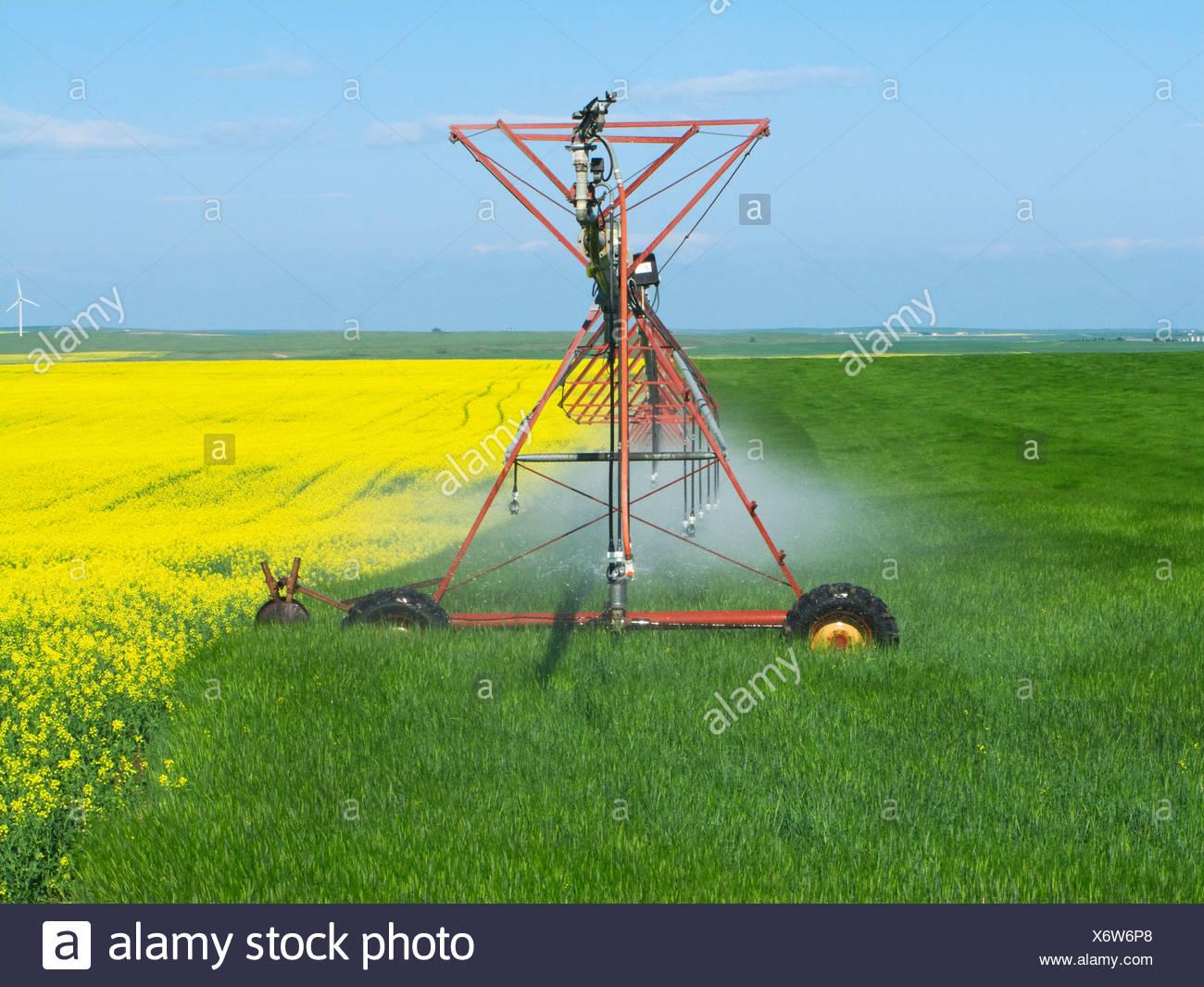 Un système d'irrigation à pivot central traversant d'un champ de canola en fleurs d'un champ de céréales céréales / de l'Alberta, au Canada. Photo Stock