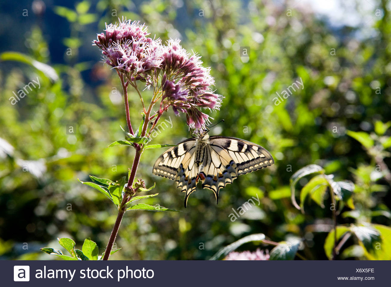 Papilio machaon), suçant à nectar, Eupatorium cannabinum swallowtail, Allemagne Banque D'Images