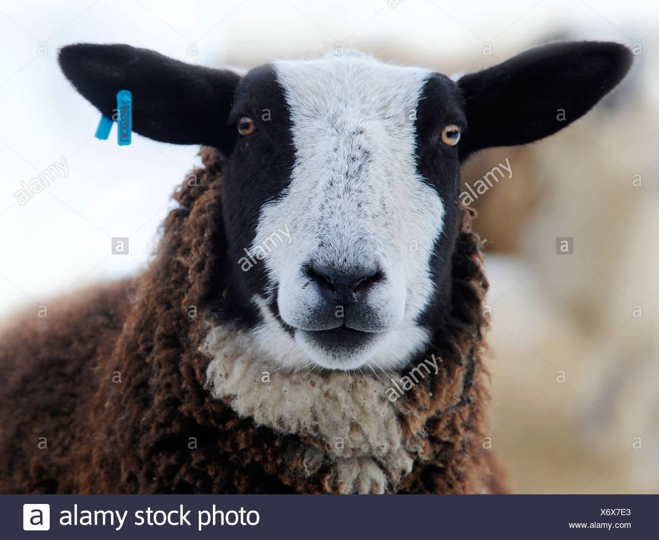 Un des portraits d'une zwartbles, un mouton avec un visage noir et blanc. Photo Stock