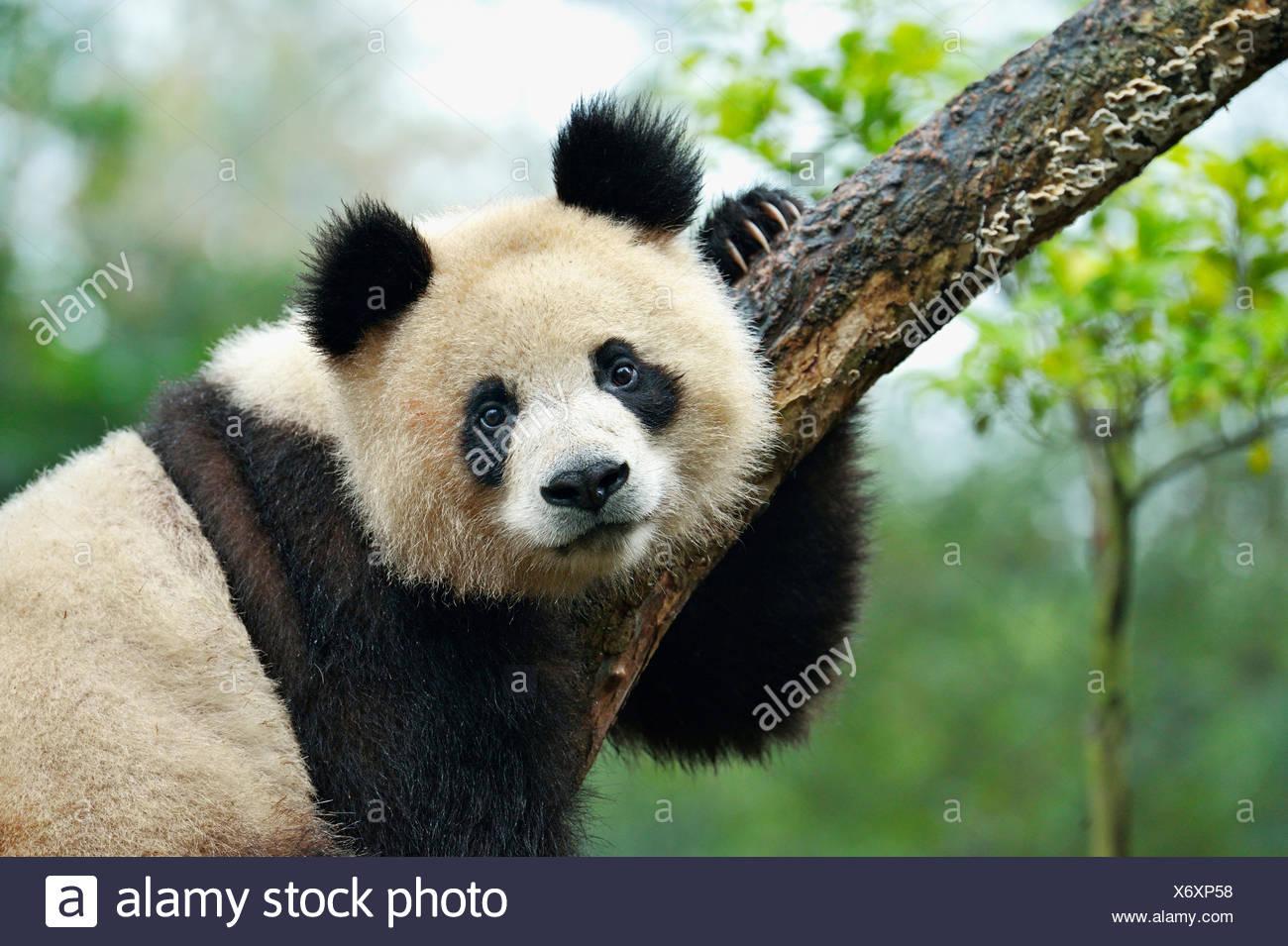 Panda géant (Ailuropoda melanoleuca) perché sur un arbre, captive, Chengdu Research Base de reproduction du Panda Géant ou Chengdu Panda Photo Stock