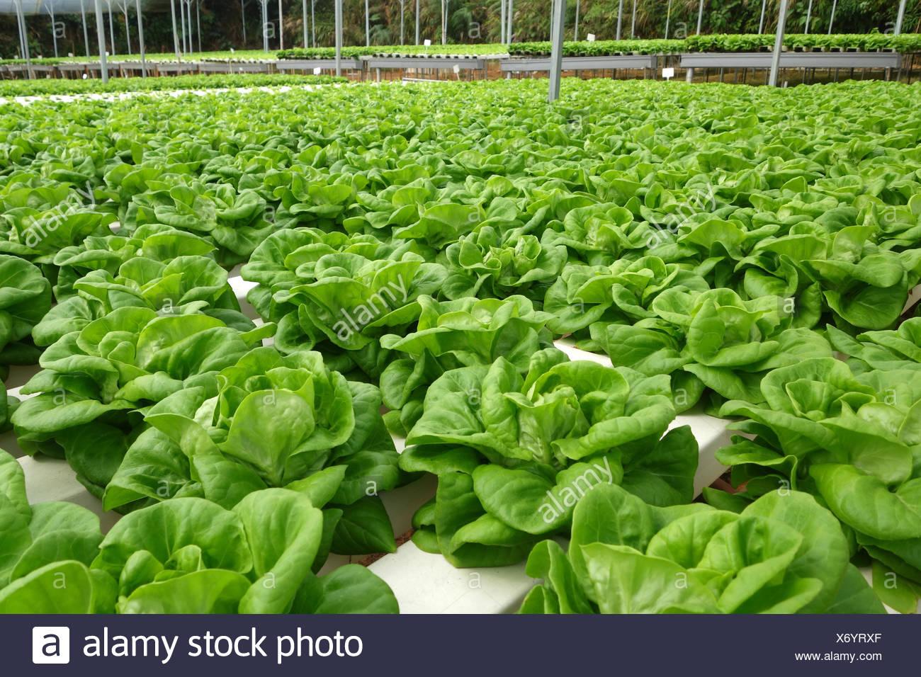 Serre commerciale culture hors-sol de légumes Banque D'Images