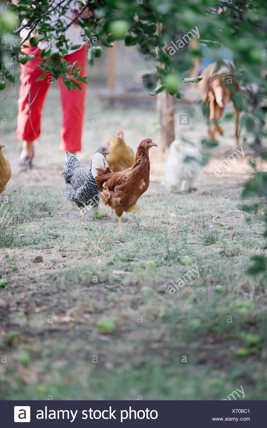 Poulets debout sur une pelouse sous un arbre, une femme et le chien dans l'arrière-plan. Photo Stock