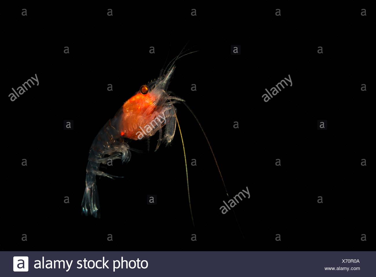 La Crevette, plancton euphausiacés, Komodo, Indonésie Banque D'Images