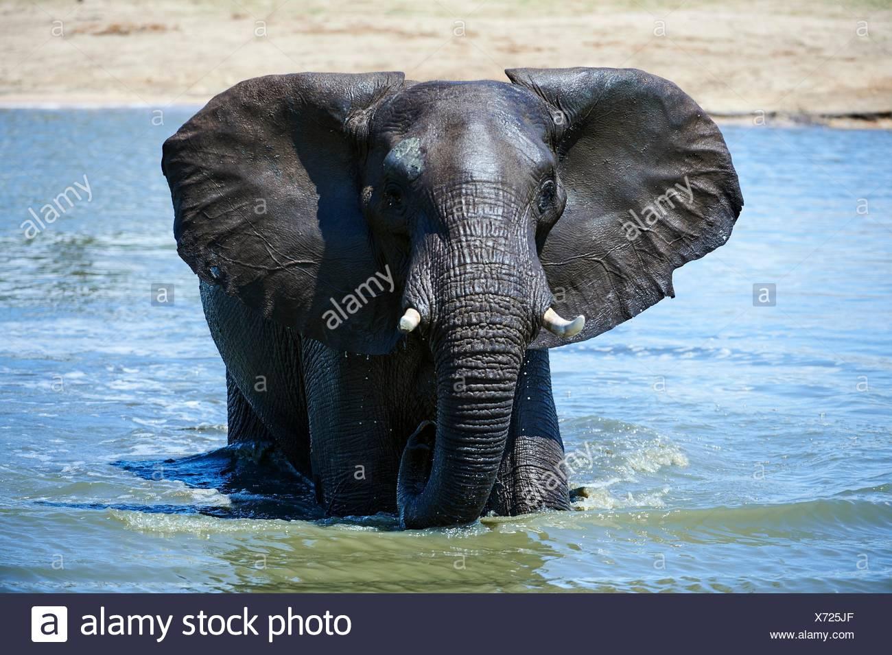 L'éléphant africain (Loxodonta africana) boire et se baigner dans un watehole. Le parc national de Hwange, Zimbabwe. Banque D'Images