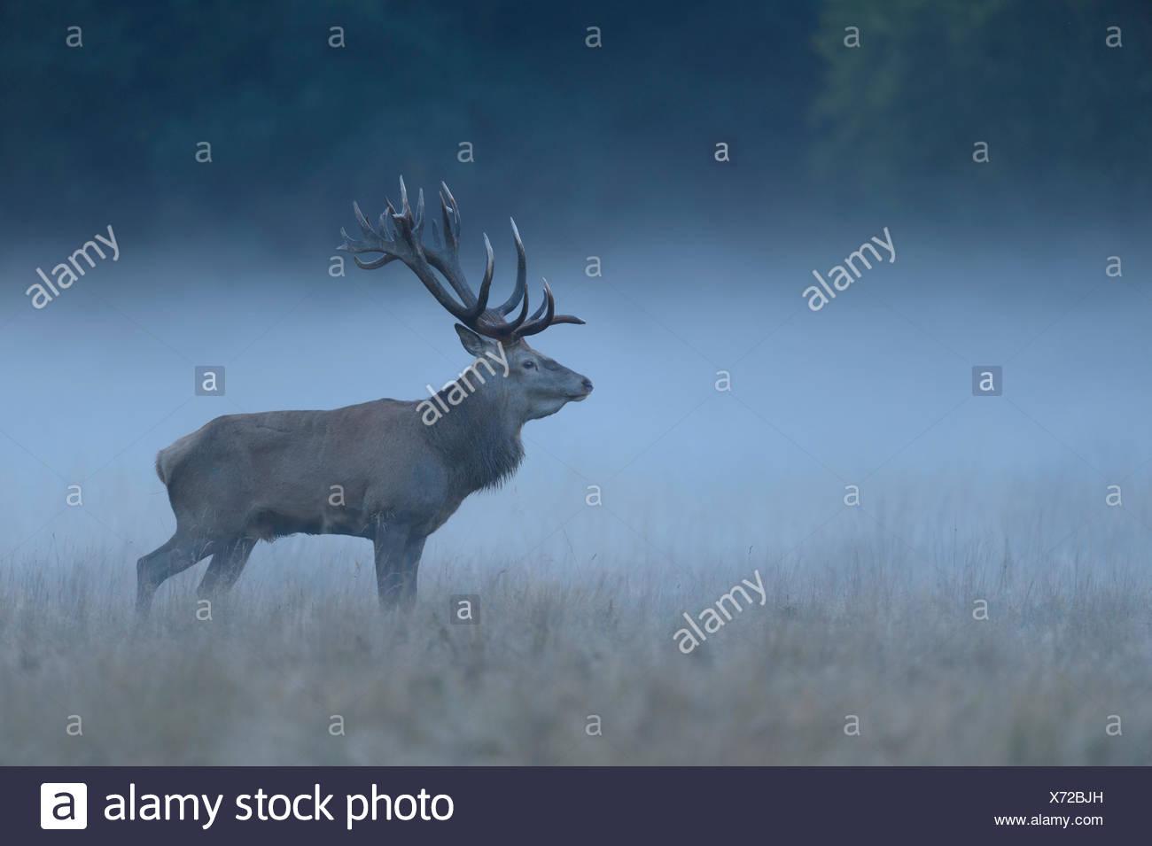 Red Deer (Cervus elaphus), buck, foggy pré, Jägersborg, Danemark Photo Stock