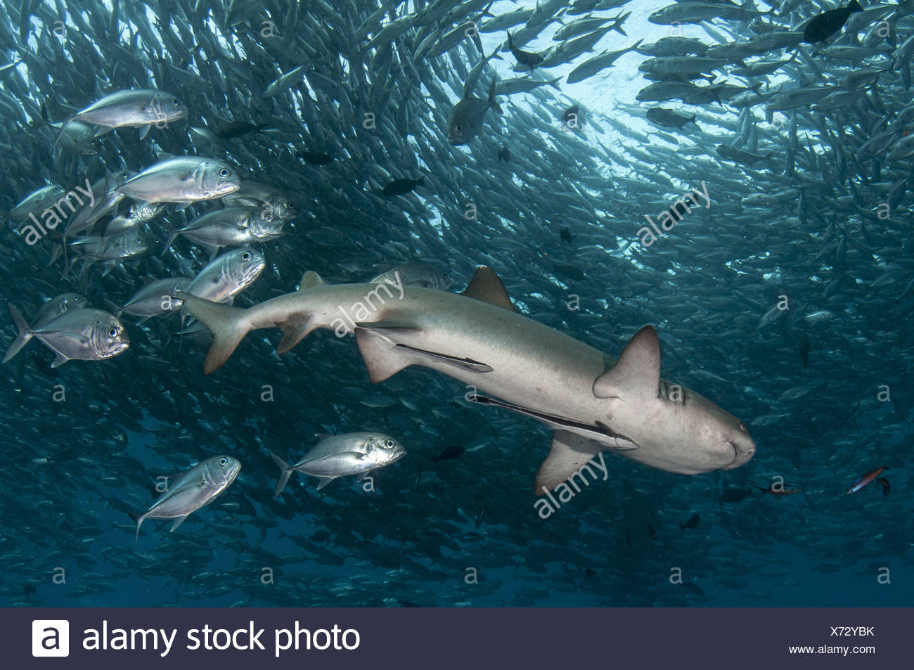 Whitetip reef shark entouré par Big-eye carangues (Triaenodon obesus), (Caranx sexfasciatus) Photo Stock
