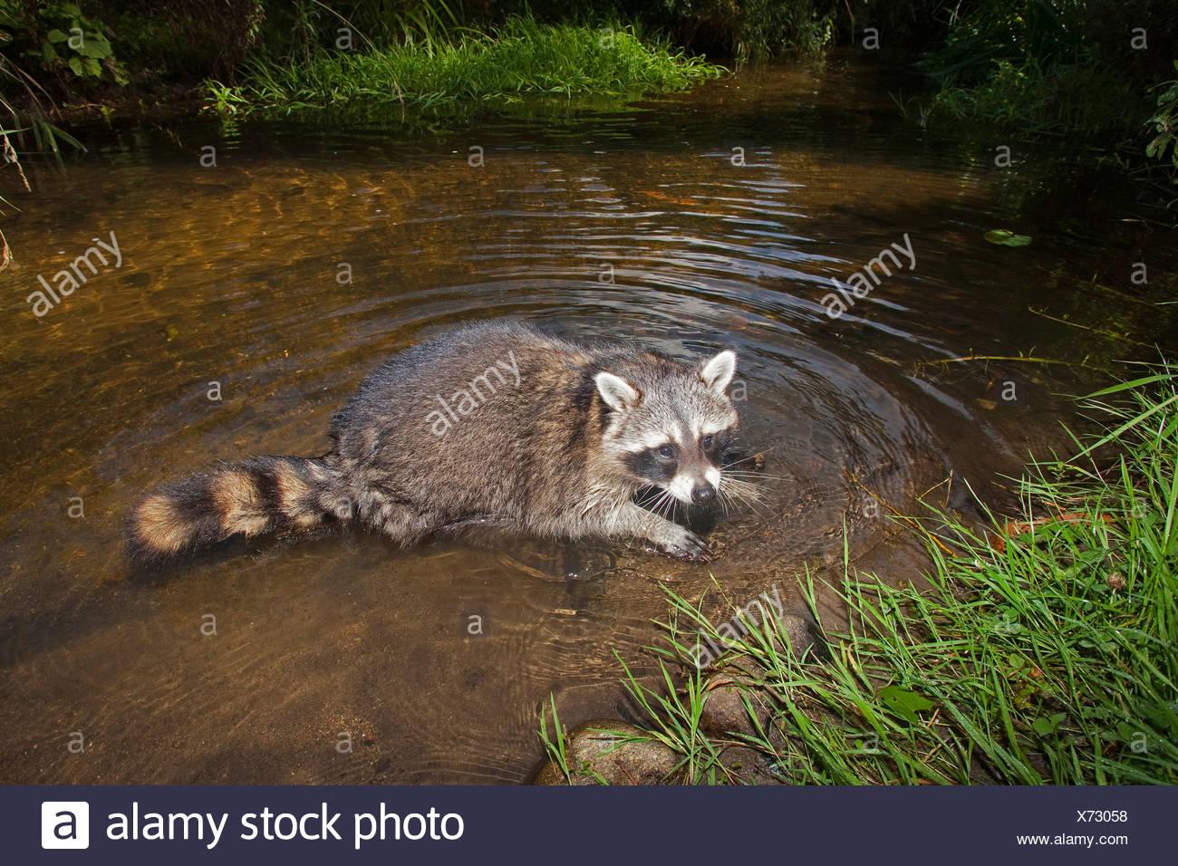 Politique raton laveur (Procyon lotor), à l'âge de six mois, l'Allemagne, le bain hommes Photo Stock