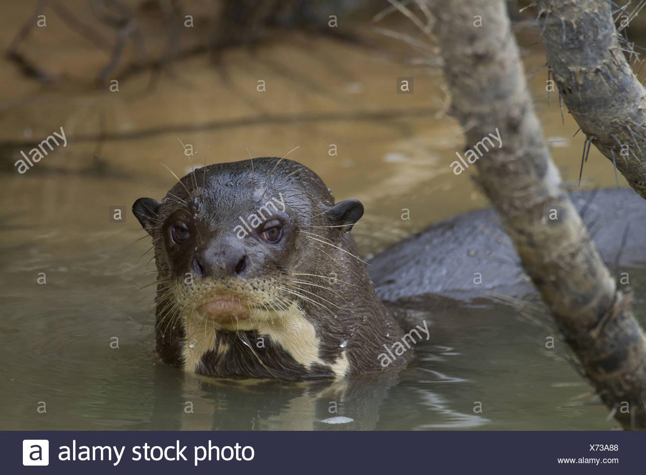 La loutre géante (Pteronura brasiliensis), adultes en rivière, fleuve Paraguay, Pantanal, Mato Grosso, Brésil Banque D'Images