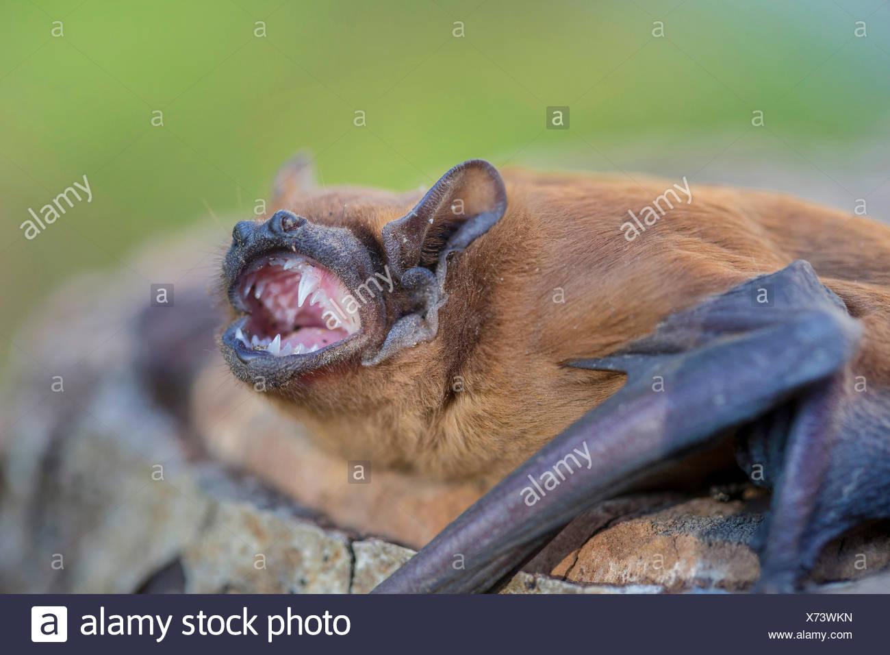 Noctule (Nyctalus noctula), c'est nu dents, Germany, Bavaria, Niederbayern, Basse-Bavière Photo Stock